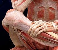ljudsko koljeno