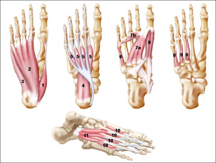 Mišići stopala